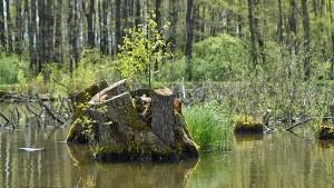 Kořeny na sumčáku připomínají mangrovový porost