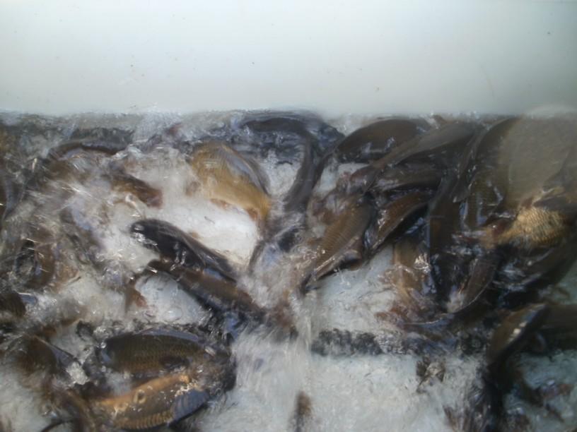 Zarybnění krmnou rybou